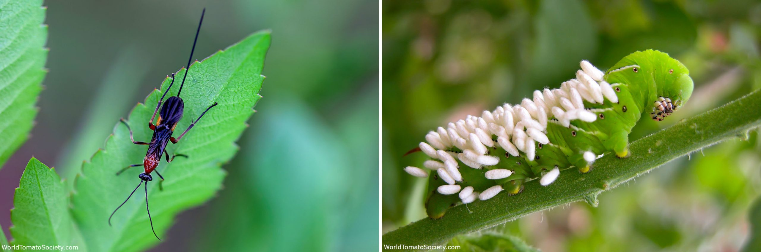 ARTICLE Five Bugs You Want to See in Your Garden Braconid Cocoons and Wasps Edit