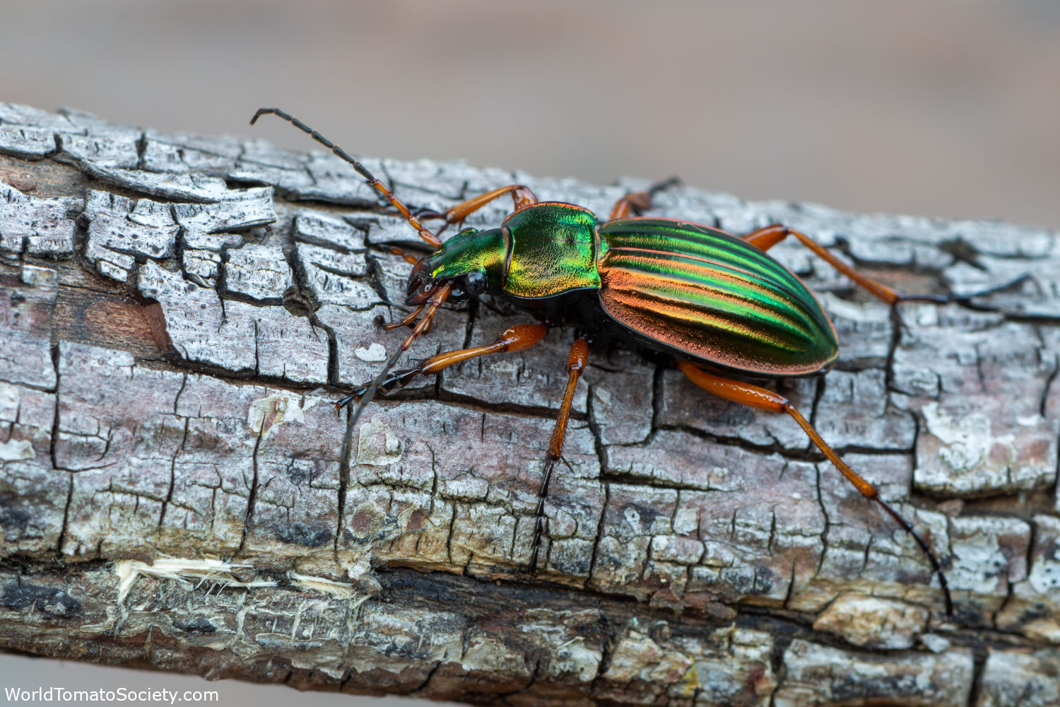 ARTICLE Five Bugs You Want to See in Your Garden Ground Beetles Edit