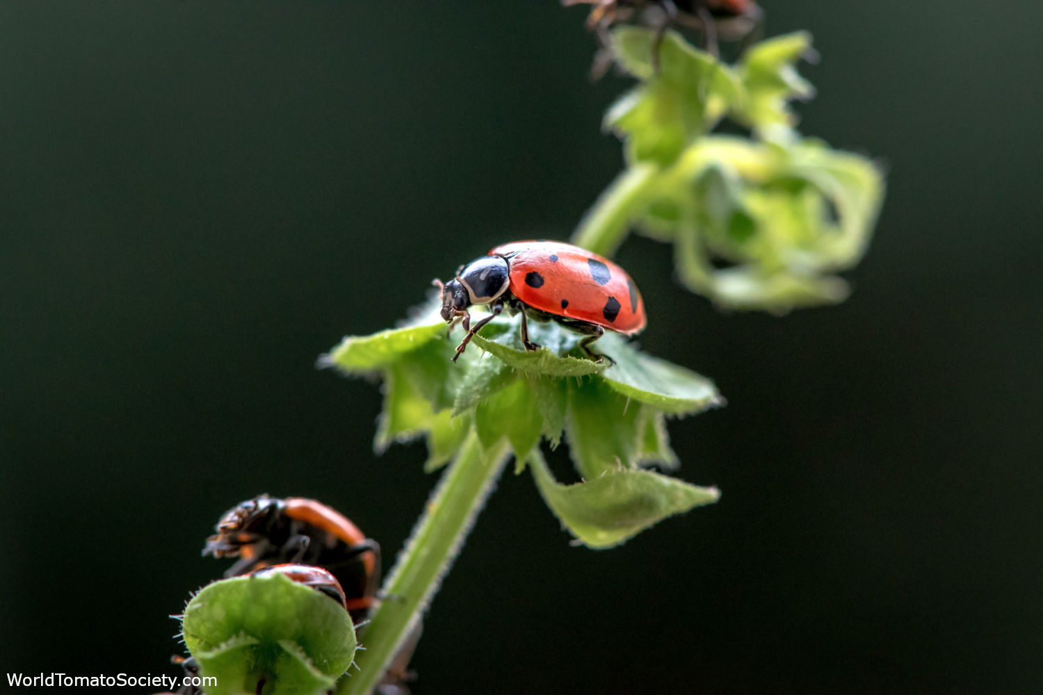 ARTICLE Five Bugs You Want to See in Your Garden Ladybugs Edit