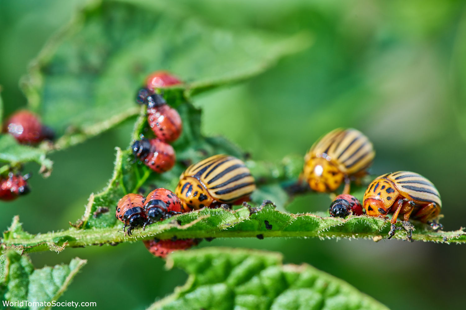 ARTICLE Five of the Buggiest Foes of Tomatoes Colorado Potato Beetle Edit
