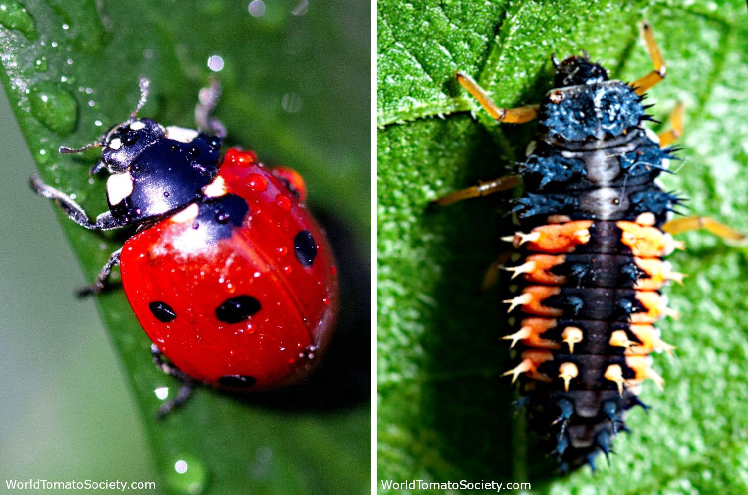 ARTICLE Ultimate Companion Planting Guide Part Ladybug and Larve Edit