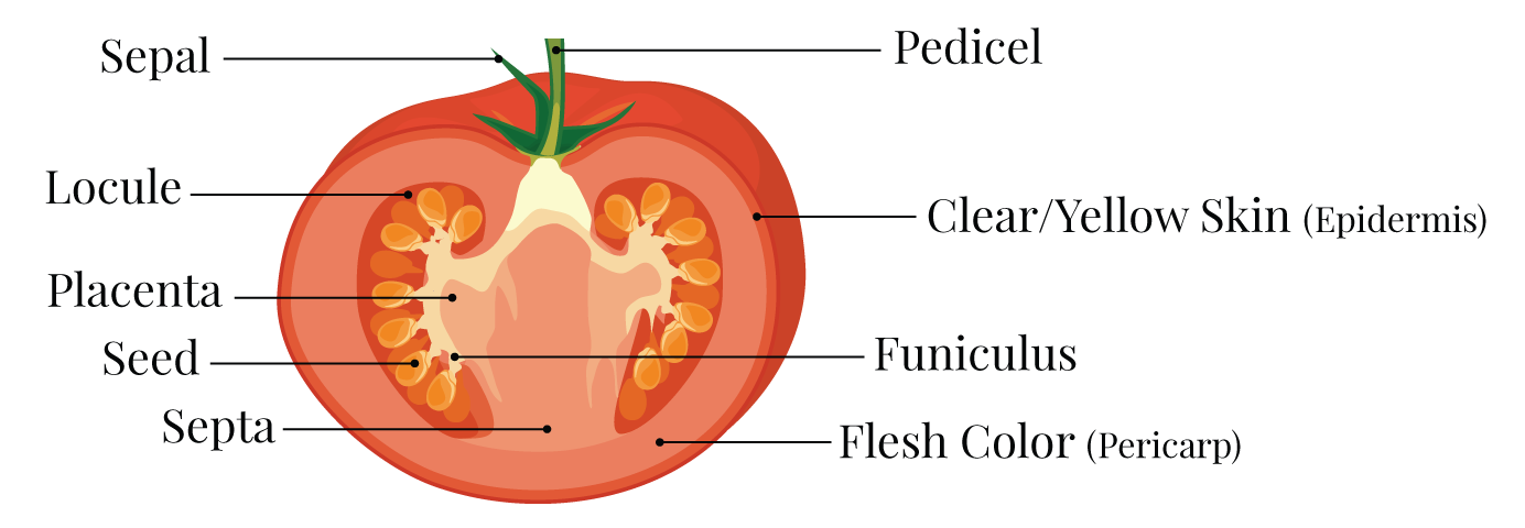 diagram tomato flesh colors